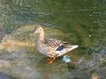 Wayward Ducklings