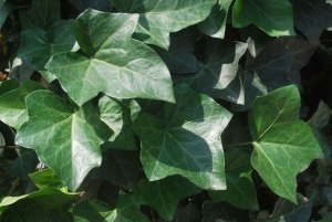"http://www.publicdomainpictures.net/view-image.php?image=7254&picture=ivy"">Ivy</a> by Peter Griffin"