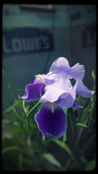 Happiness for my iris blooming after a hard winter