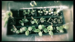 Happiness is tomato plants that are ready to go